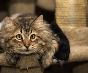 Cat Guardians 055 Poonch Key