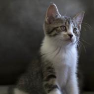 Cat Guardians Pippen Kittens Dawn 063 Fiji Lighter