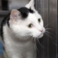 Cat Guardians 007 Oreo Close Up